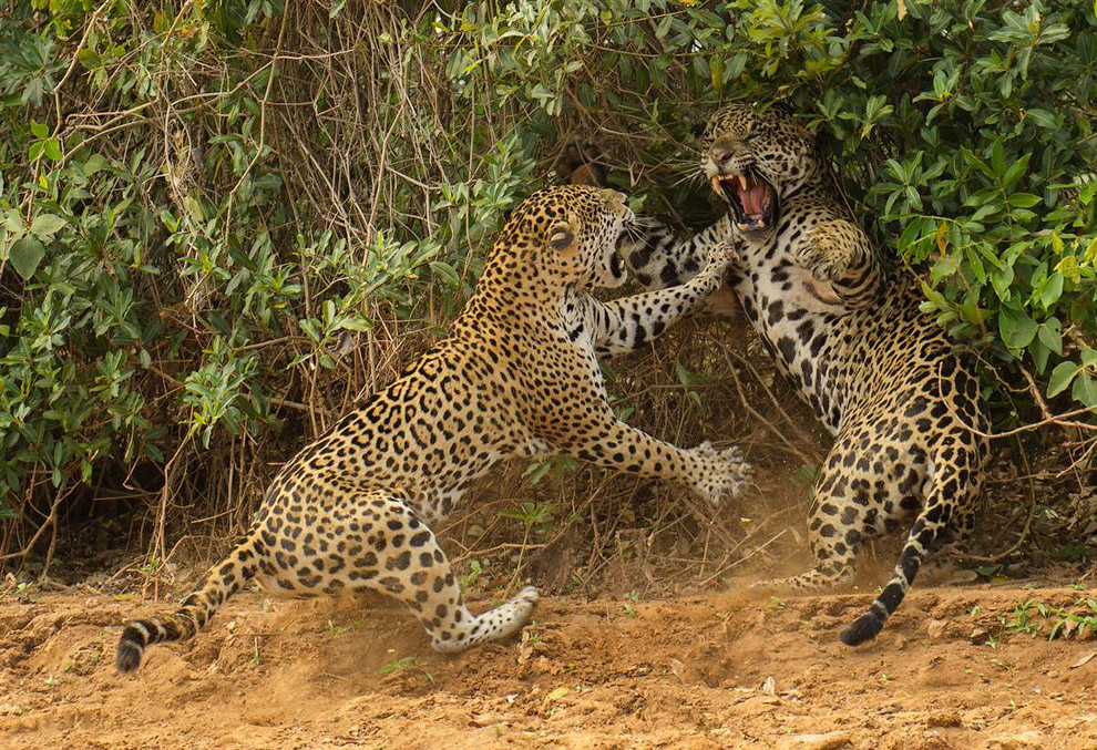 Фотограф поймал момент разборки между самкой и самцом ягуара