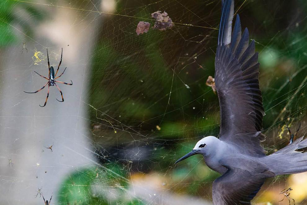 Он сделал снимок крачки, попавшейся в сети паука на Сейшельских островах