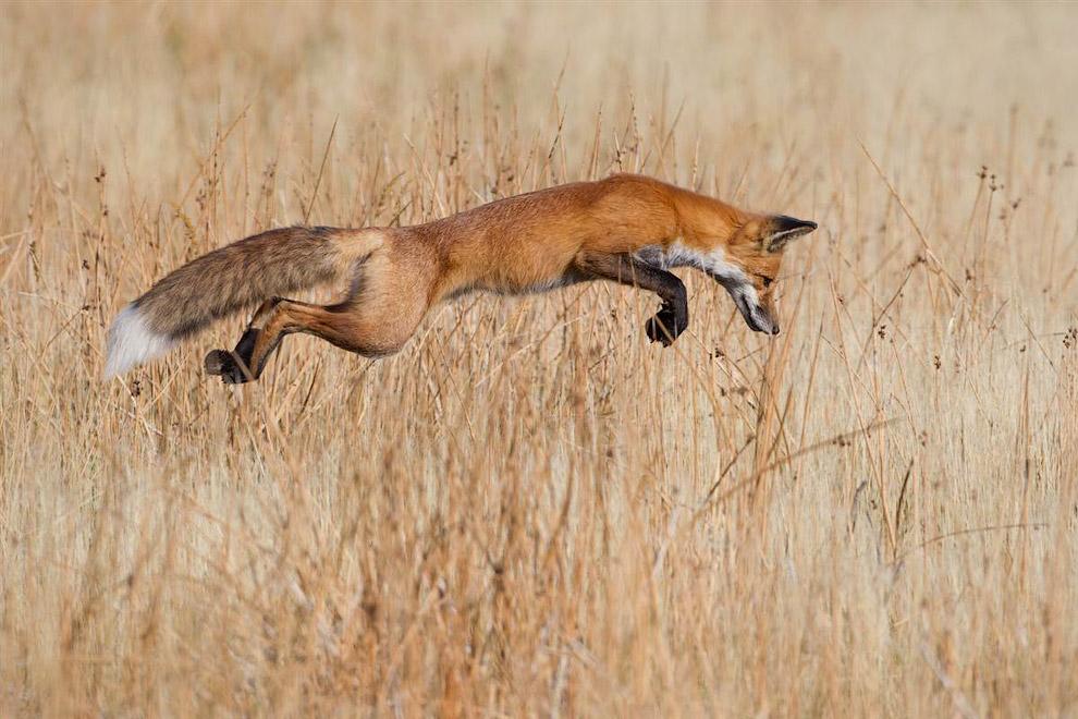 Специальный приз получила фотография лисицы