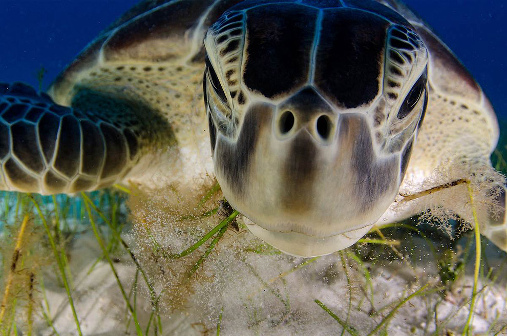 Пляжи полуострова Юкатан в Мексике являются традиционными местом гнездования исчезающих зеленых черепах