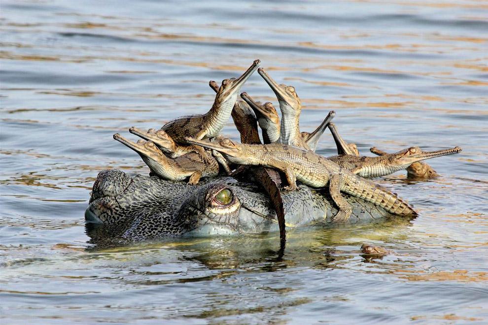 Мама-крокодил с детенышами у нее на голове
