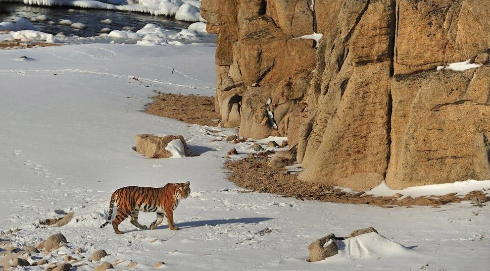 Амурский тигр в природе