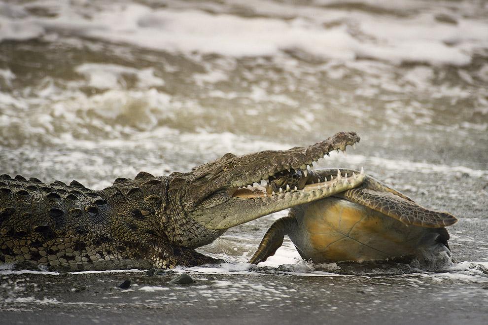 Крокодил поймал зеленую черепаху в Национальном парке Корковадо на тихоокеанском побережье Коста-Рики
