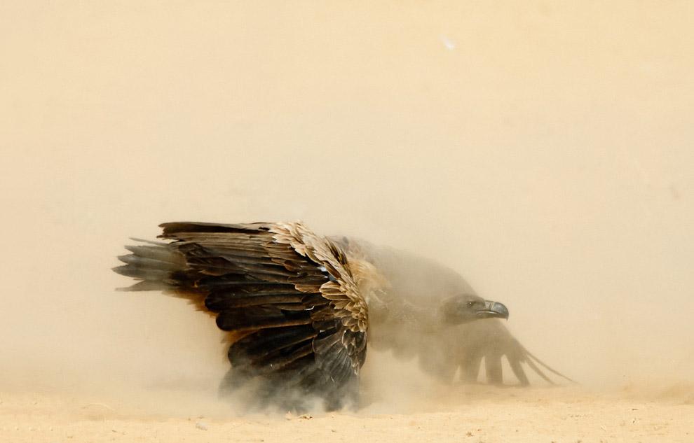 Стервятник в Национальном парке Калахари