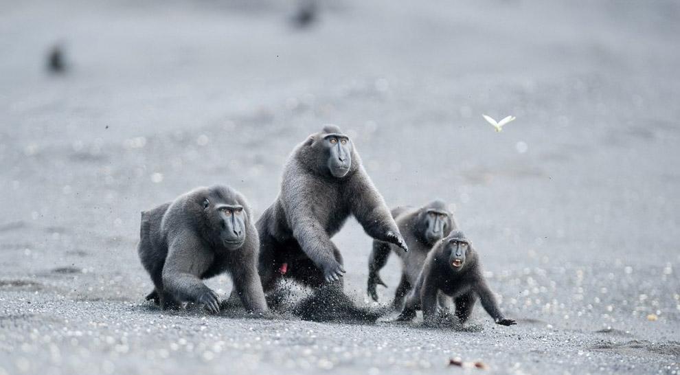 Исчезающих хохлатых макак можно найти только на острове Сулавеси