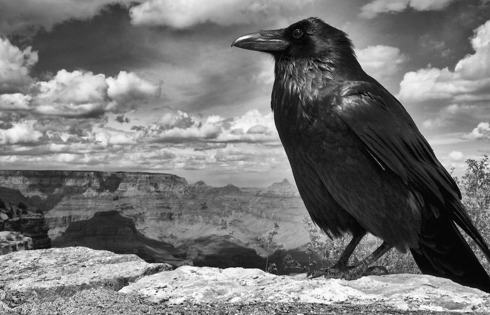 Ворона на краю Гранд-Каньона