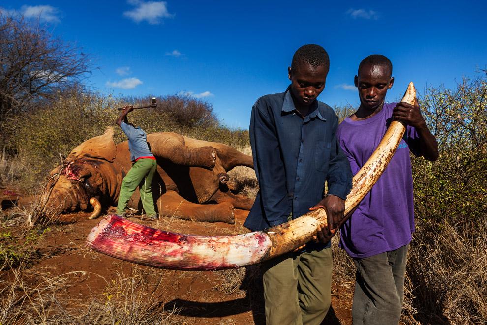 Несмотря на международный запрет в 1989-м на отстрел слонов, их продолжают убивать
