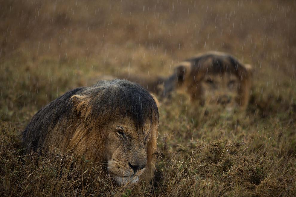 Снимок львов из Серенгети
