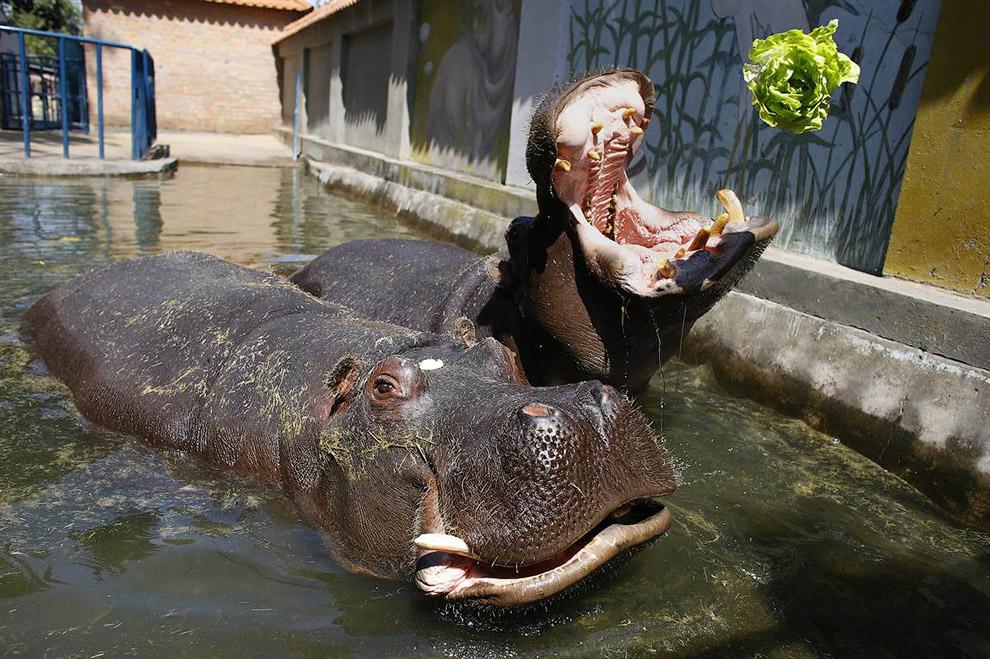 Бегемота кормят салатом в зоопарке Белграда