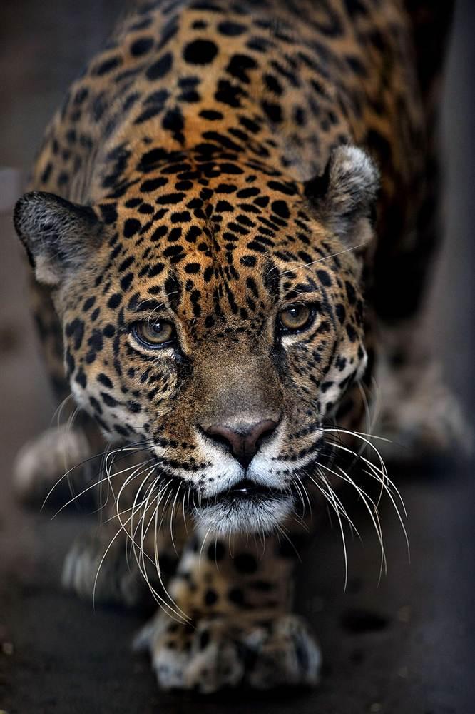 Ягуар выглядывает из своего вольера в зоопарке в Сан-Хосе
