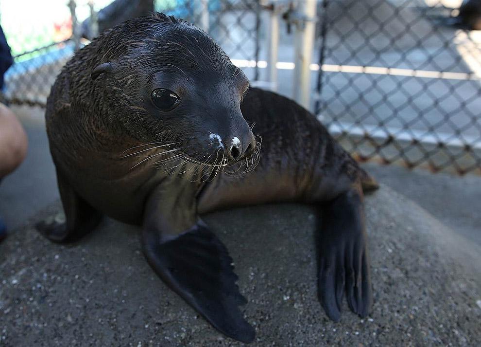 8-недельный морской лев в центре реабилитации морских млекопитающих в Калифорнии