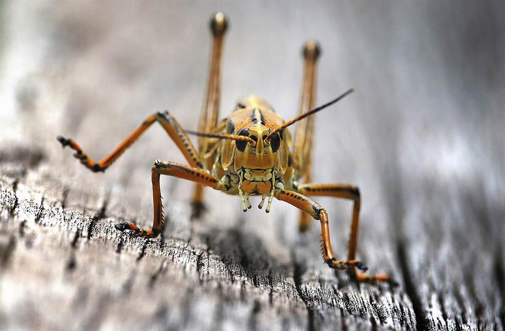 Кузнечик в Национальном парке Эверглейдс во Флориде