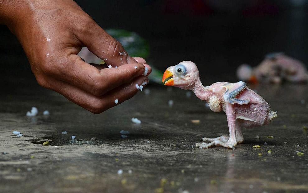Детеныш индийского попугая в Димапур, Индия