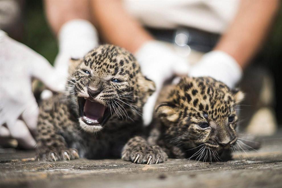 Африканские леопардики проходят первую в своей жизни медицинскую экспертизу в Будапеште, Венгрия