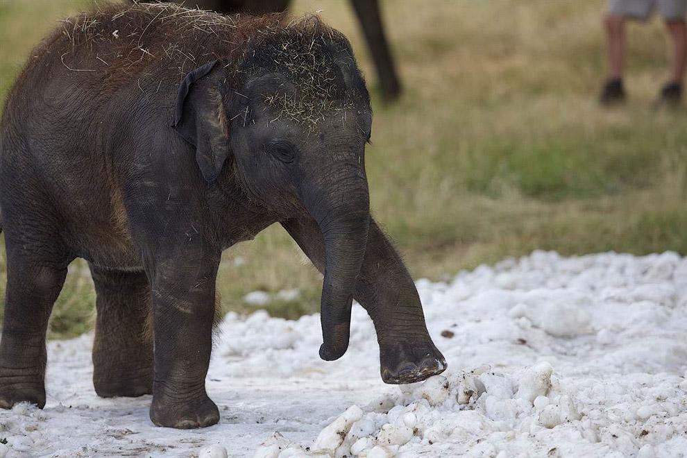 Маленький слон привыкает к снегу в зоопарке в Бедфордшире, Англия