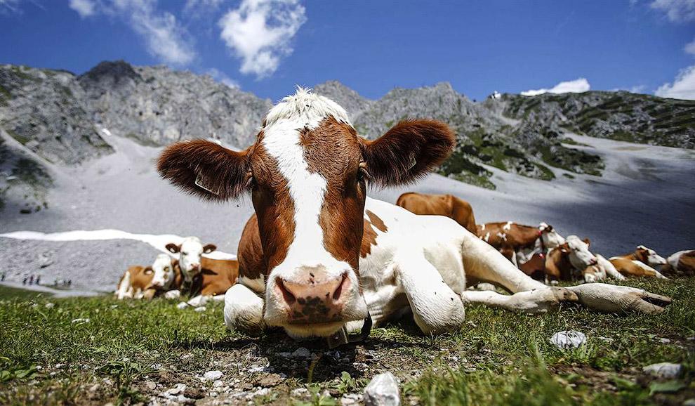 Коровы на лугах в Инсбруке, Австрия