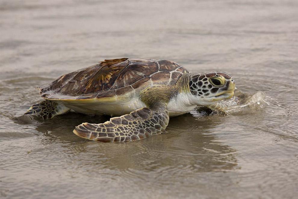 Зеленая морская черепаха спешит в Атлантический океан
