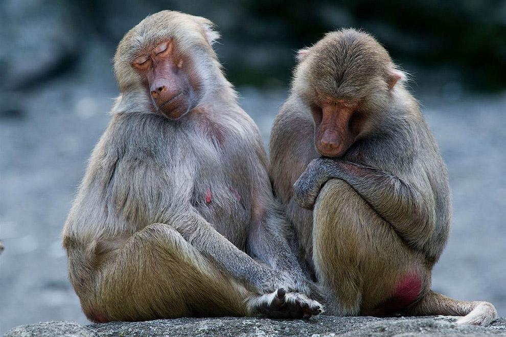 Два бабуина в зоопарке в Германии