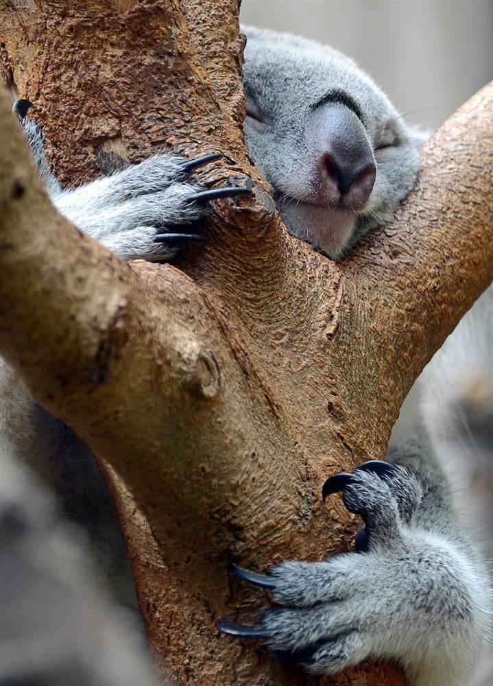 Коала в зоопарке в Дуйсбурге, Германия