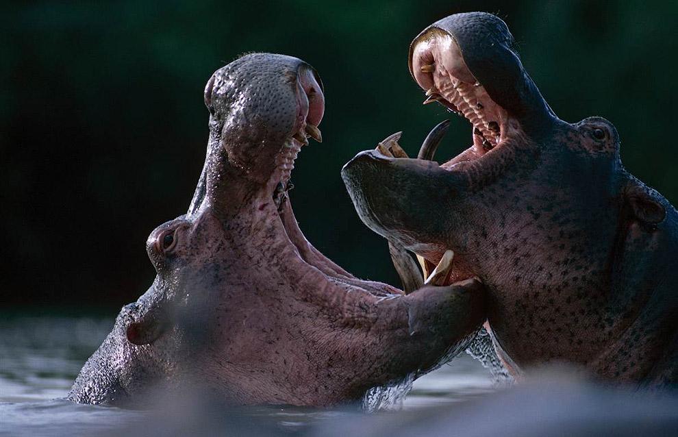 Большие-пребольшие бегемоты