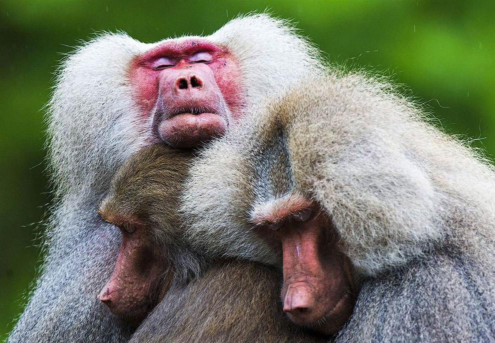 Бабуины в зоопарке в Нидерландах