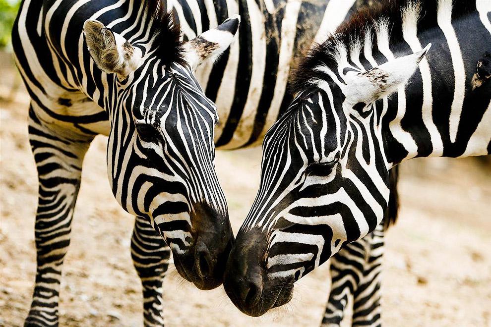 Зебры в пекинском зоопарке в Китае