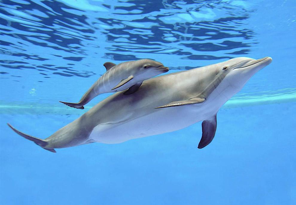 26-летняя афалина и новорожденный дельфиненок