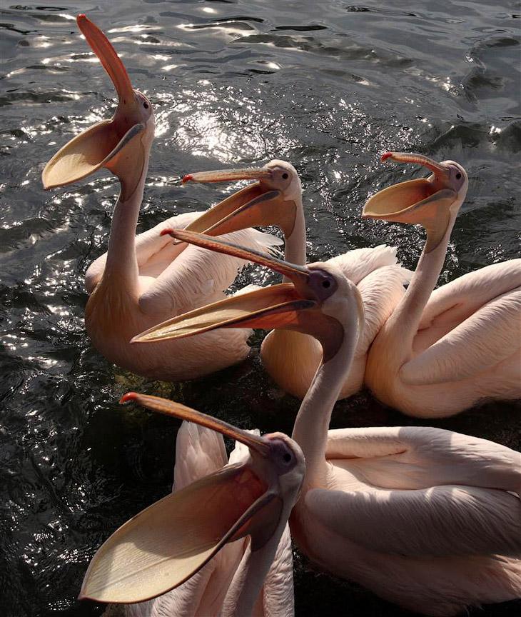 Кормления пеликанов в парке птиц в Марлоу, Германия
