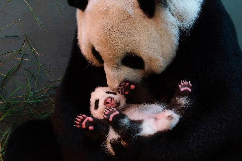 Новорожденный детеныш панды в зоопарке  в городе Тайбэй, Тайвань
