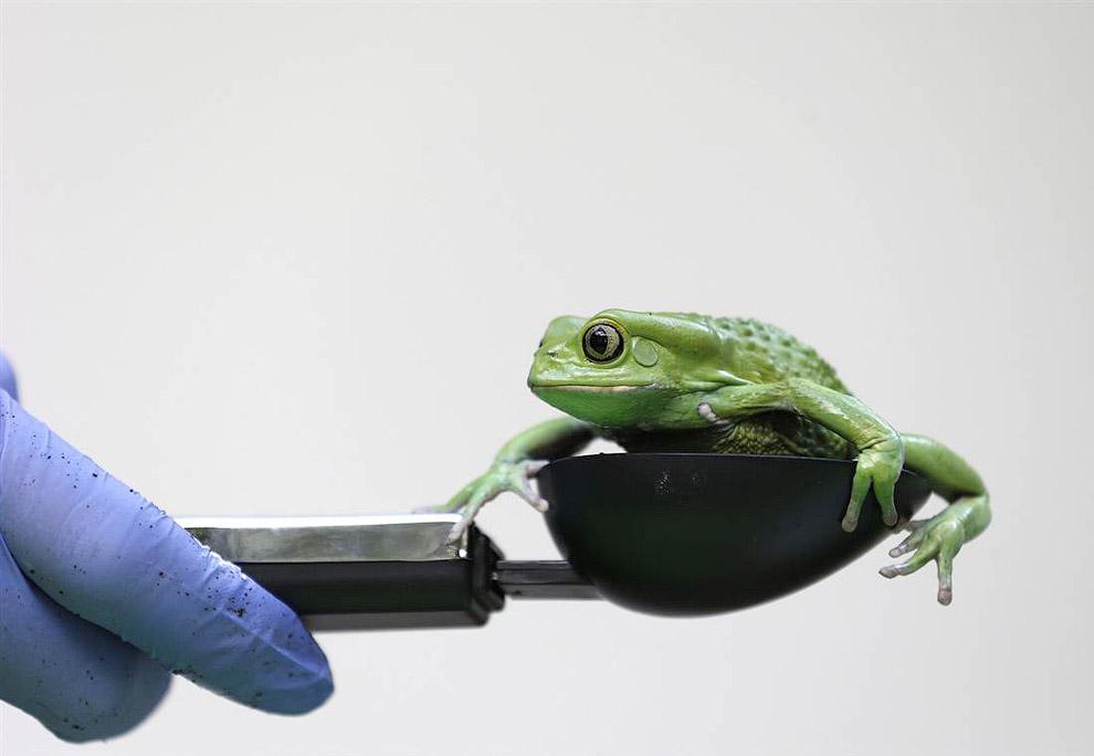 Название восковой лягушки переводится как восковая обезьяня из-за древесного образа жизни