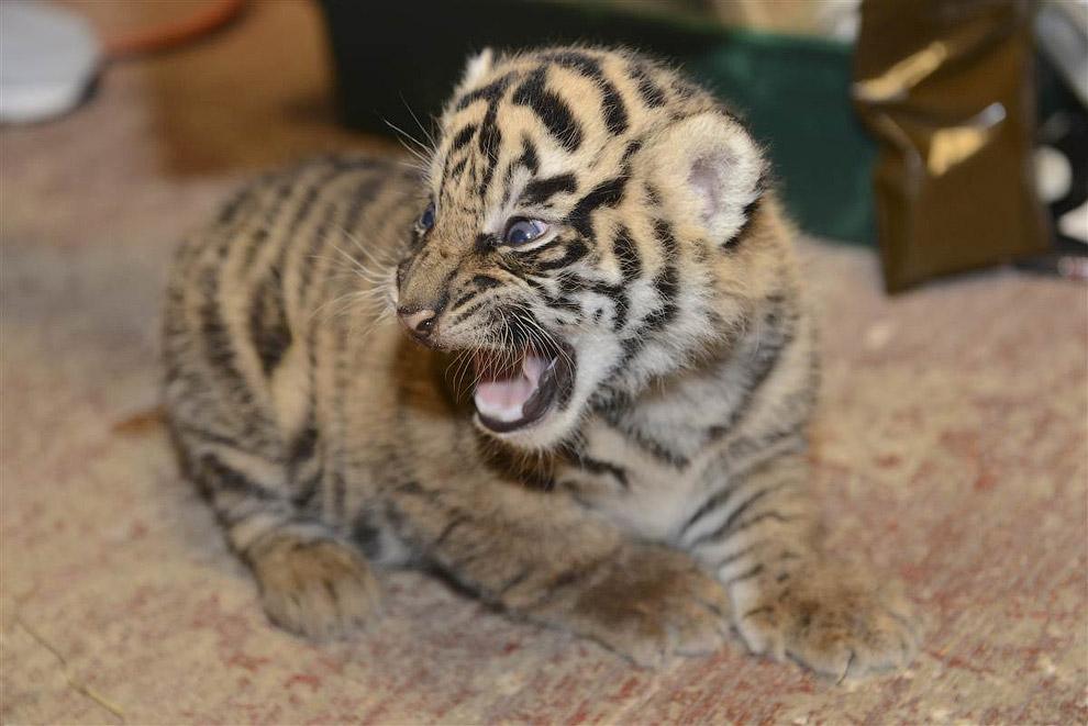 Тигренок не в восторге от первого в своей жизни обследования у ветеринара в вашингтонском зоопарке