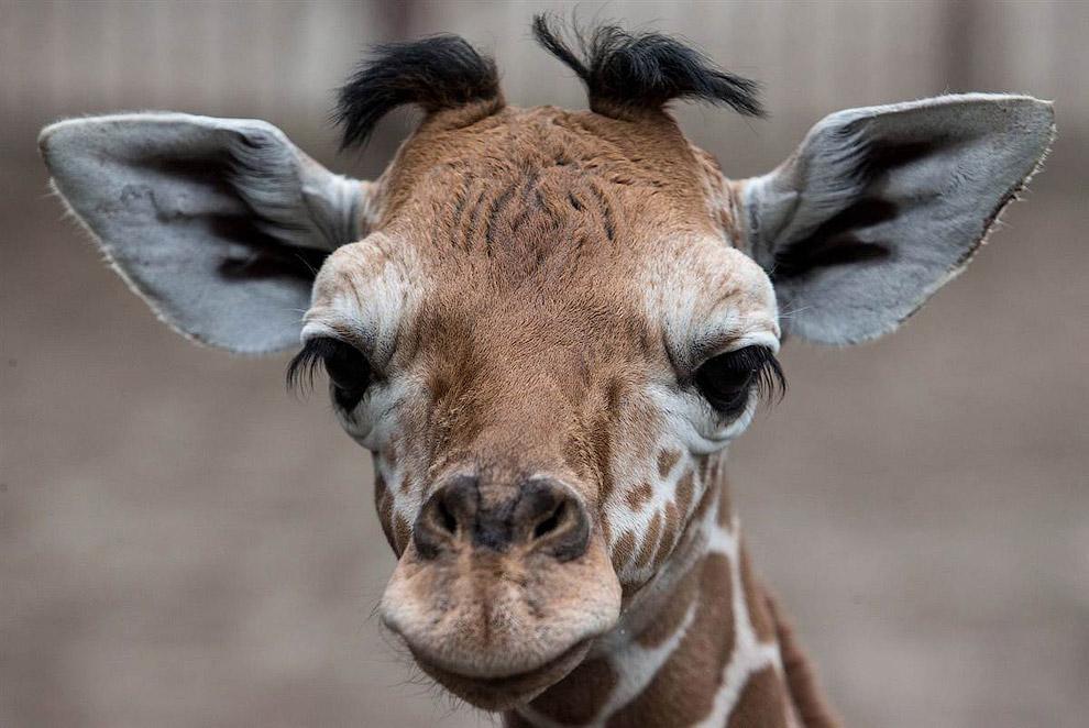 1-недельный жираф в зоопарке в городе Вроцлав, Польша