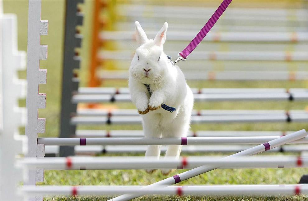 На соревнованиях по бегу с препятствиями среди кроликов, Германия