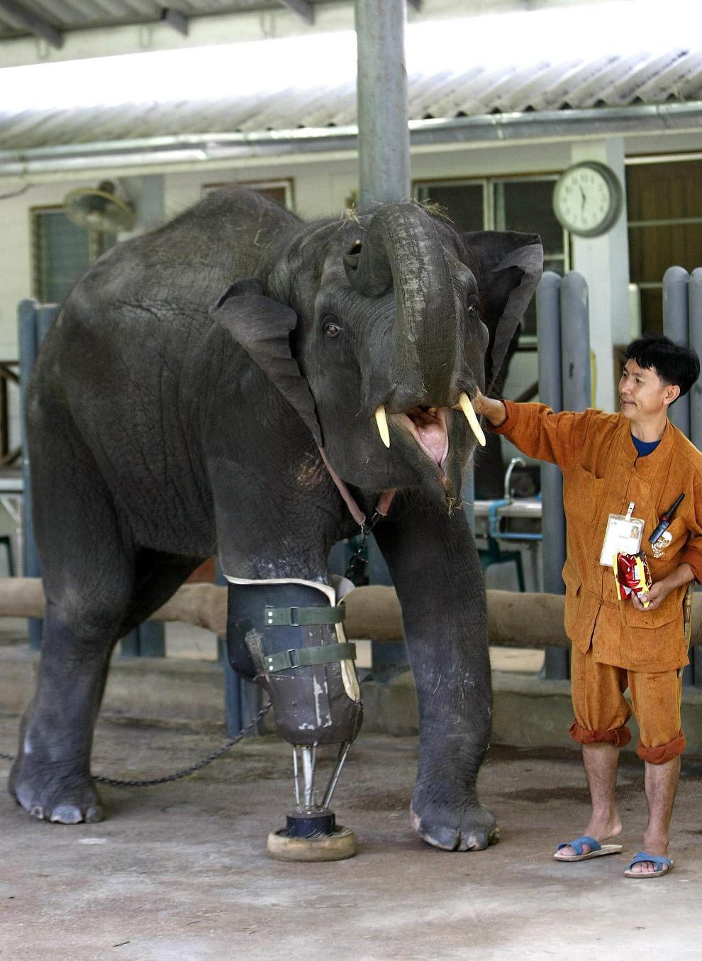 Слониха Моша потеряла свою ногу, наступив на мину на границе Таиланда и Мьянмы в 2006 году