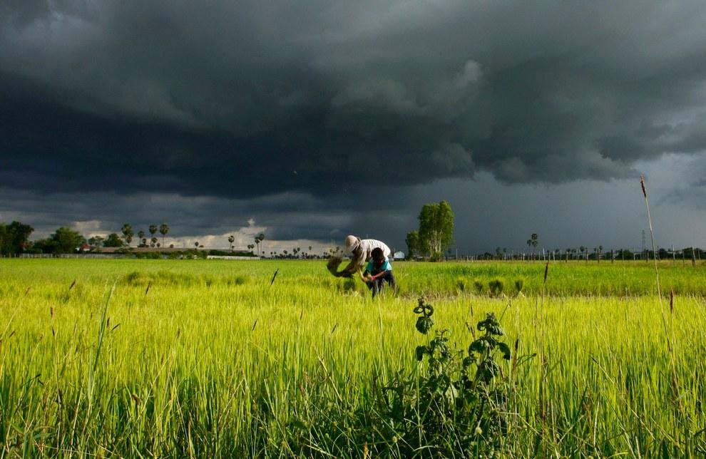 Камбоджийские фермеры на своих рисовых полях во время сезона дождей, Камбоджа