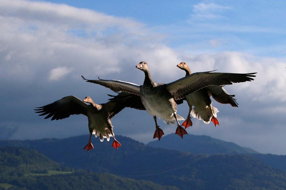 Перелетные птицы — Пискульки из семейства утиных. Свое название эти мелкие гуси получили за писк, издаваемый в полете