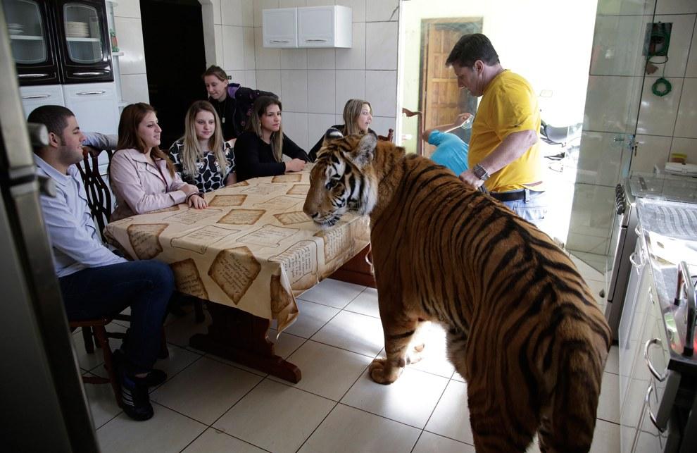 Завтрак с тигром Томом, Бразилия