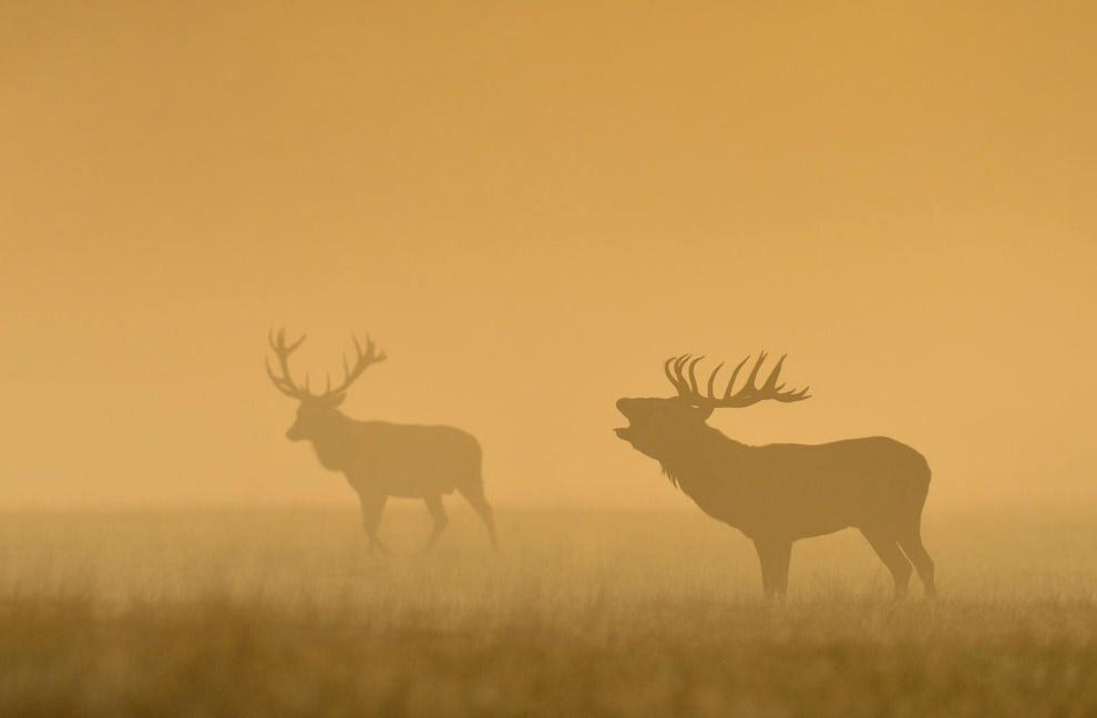 Олени туманным утром в Ричмонд-парке на юго-западе Лондона
