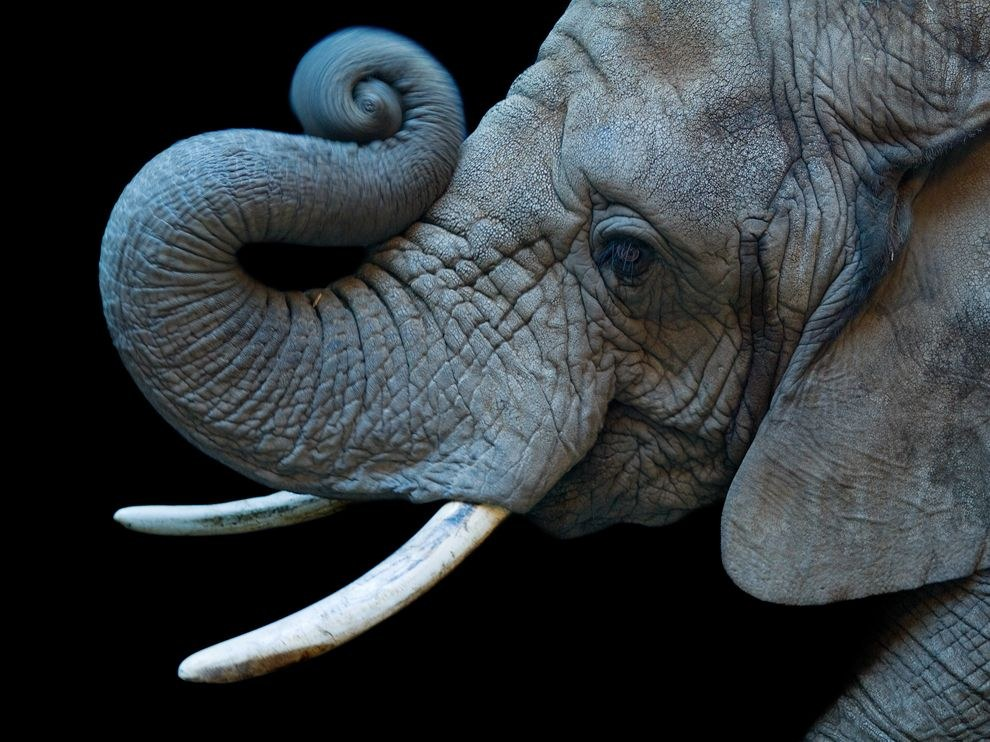Портрет африканской слонихи