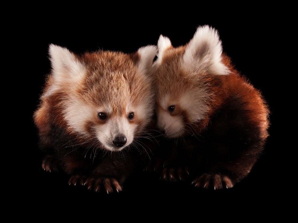Малые панды