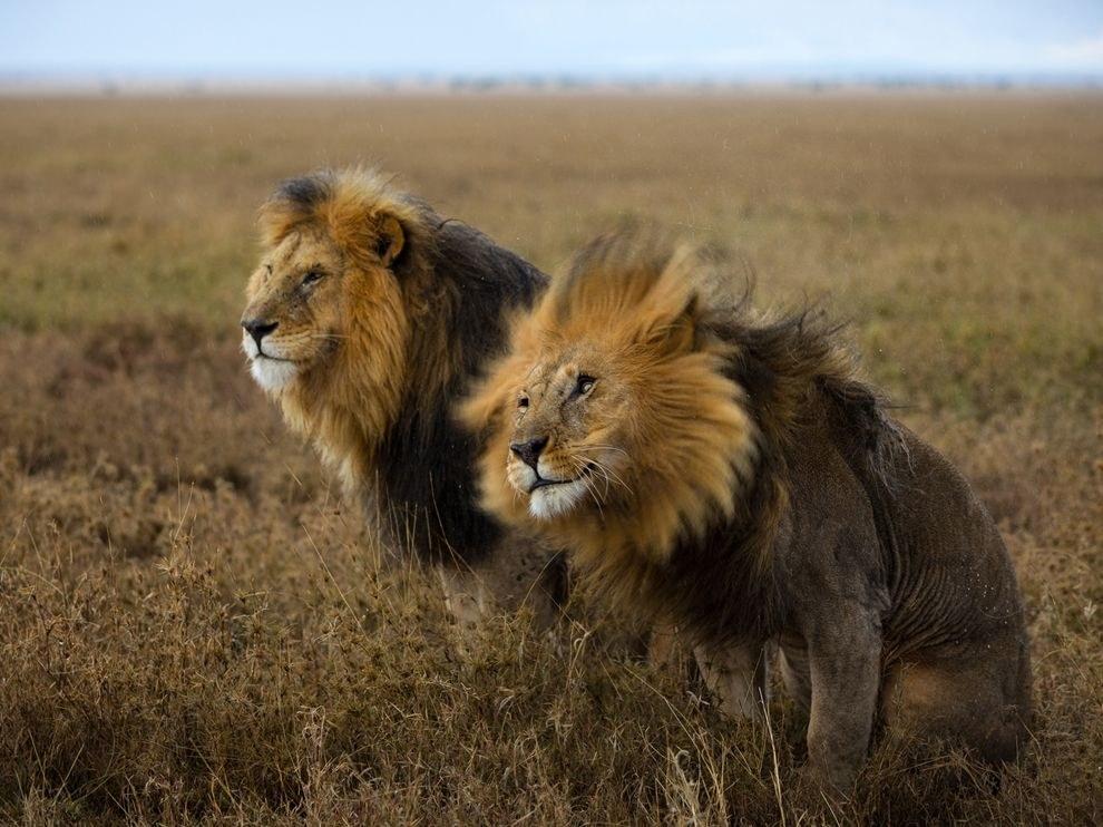 Львы, Серенгети