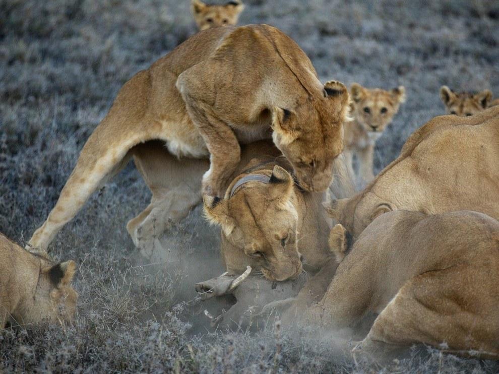 Львицы, национальный парк Серенгети