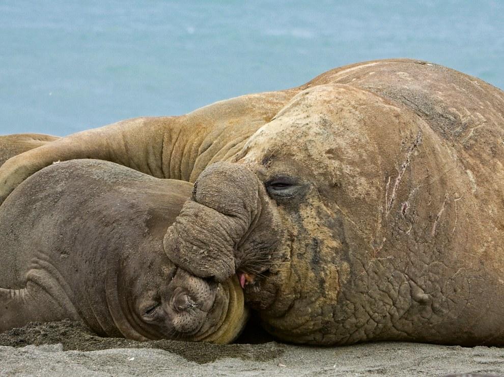 Морские слоны, Южная Георгия