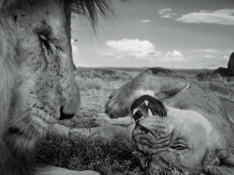 Львы, национальный парк Серенгети