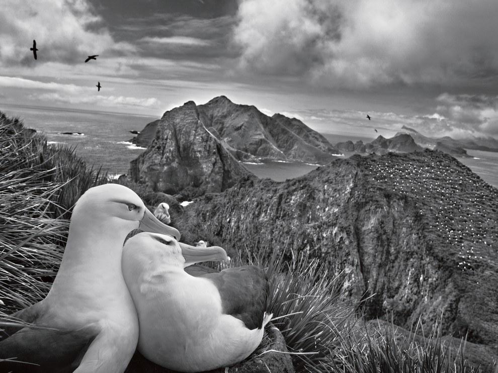 Чернобровые альбатросы, Южная Георгия