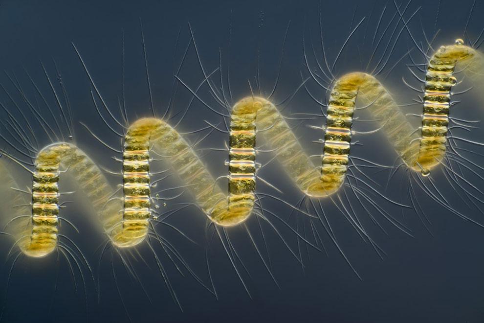 250-кратное увеличение колониального планктонного организма Chaetoceros debilis