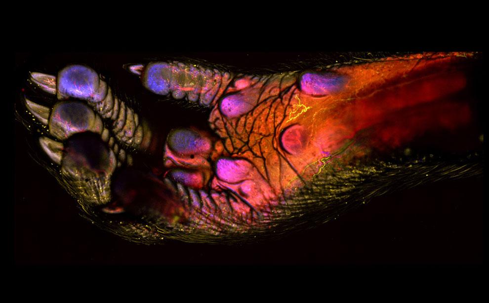 100-кратное увеличение кровеносной системы лапы мыши