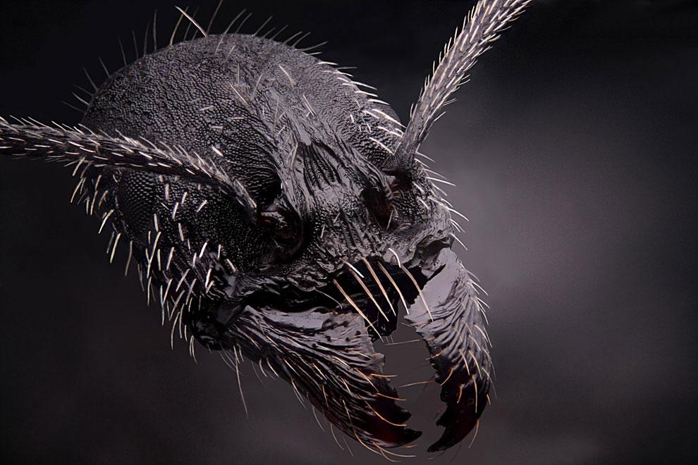 4-кратное увеличение муравья-рабочего