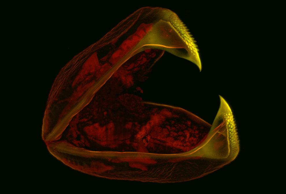 60-кратное увеличение личинки двухстворчатого моллюска