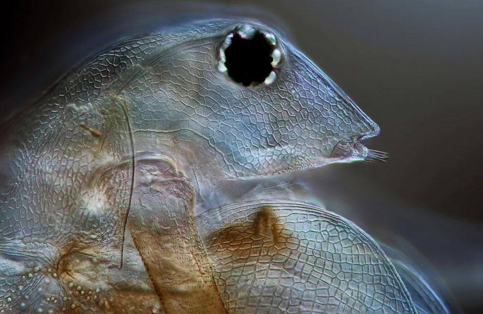 20-кратное увеличение водяной блохи (Daphnia magna)